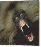 A Male Gelada Baboon Bares His Fangs Wood Print