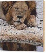 A Male Lion Panthera Leo Sleeps Wood Print
