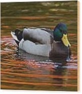 A Male Mallard Duck Drinking.  Fall Wood Print