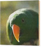A Male Solomon Island Eclectus Parrot Wood Print by Joel Sartore