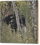 A Moose Alces Alces Americana With An Wood Print