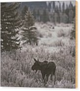 A Moose In A Frost-covered Field, Grand Wood Print
