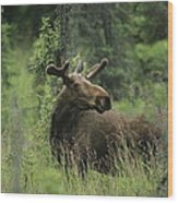 A Moose Stands In Tall Grass Wood Print