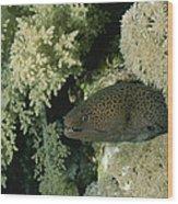 A Moray Eel Pokes Its Head Wood Print
