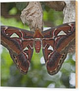 A Moth Clings To Its Cocoon Immediately Wood Print