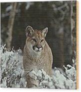 A Mountain Lion, Felis Concolor Wood Print