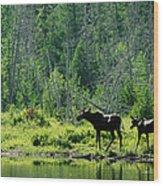 A Natural Salt Lick Lures Moose Wood Print