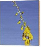 A New-holland Rattlepod, Crotalaria Wood Print by Jason Edwards