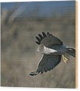 A Northern Harrier Hawk In Flight Wood Print