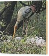A Painted Stork Feeding Its Young At The Delhi Zoo Wood Print