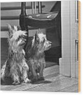 A Pair Of Australian Silky Terriers Wood Print by Willard Culver