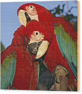 A Pair Of Captive Red-and-green Macaws Wood Print