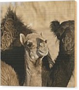 A Pair Of Dromedary Camels Pose Proudly Wood Print