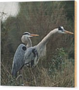 A Pair Of Great Blue Herons Stand Wood Print