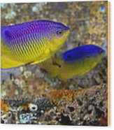 A Pair Of Juvenile Cocoa Damselfish Wood Print by Michael Wood