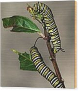 A Pair Of Monarch Caterpillars Wood Print