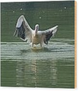 A Pelican Drying Its Wings After Landing In The Lake Inside Delhi Zoo Wood Print