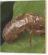 A Periodical Cicada Exoskeleton Wood Print