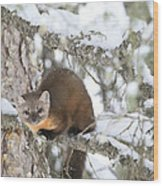 A Pine Marten Looks For Food Wood Print
