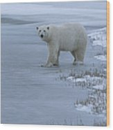 A Polar Bear Stepping Onto Ice Wood Print