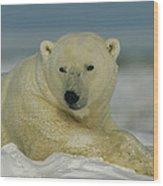 A Polar Bear, Ursus Maritimus, Lounges Wood Print