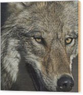 A Portrait Of A Gray Wolf Wood Print