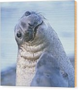 A Portrait Of A Northern Elephant Seal Wood Print by Rich Reid