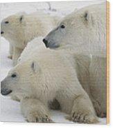 A Portrait Of A Polar Bear Mother Wood Print