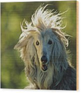 A Portrait Of An Afghan Hound Wood Print