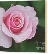 A Pretty Pink Rose Wood Print