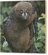 A Red-bellied Lemur Clings To A Tree Wood Print