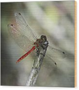 A Red Dragonfly Wood Print