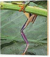 A Red-eyed Tree Frog, Agalychnis Wood Print