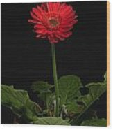 A Red Gerbera In A Pot Wood Print