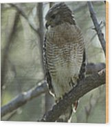 A Red Shouldered Hawk Perches In A Tree Wood Print