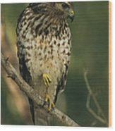 A Red Shouldered Hawk Perches On A Tree Wood Print