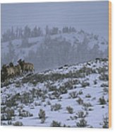 A Reintroduced Wolf Chases A Herd Wood Print