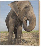 A Rescued Asian Elephant Eats Sugar Wood Print