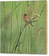 A Scarlet Grosbeak Perched On Grass Wood Print