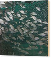 A School Of Tomtate And Glass Minnows Wood Print by Michael Wood