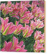 A Sea Of Pink Tulips. Square Format Wood Print