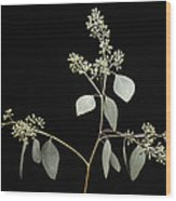 A Seeded Eucalyptus Eucalyptus Cinerea Wood Print
