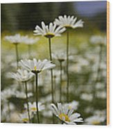A Small Group Of Daisies Stands Wood Print