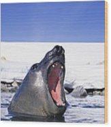 A Southern Elephant Seal, Mirounga Wood Print by Bill Curtsinger