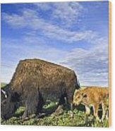 A Sow Bison Guides Her Calves On A Walk Wood Print