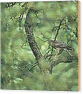 A Sparrowhawk Perches In A Tree Wood Print