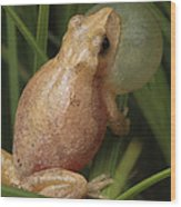 A Spring Peeper Calls For A Mate Wood Print
