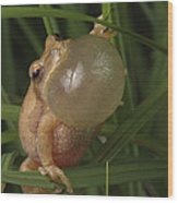 A Spring Peeper Faces The Camera Wood Print