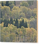 A Stand Of Aspen And Evergreen Trees Wood Print