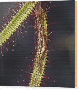 A Sundew Carnivourous Plant, Drosera Wood Print